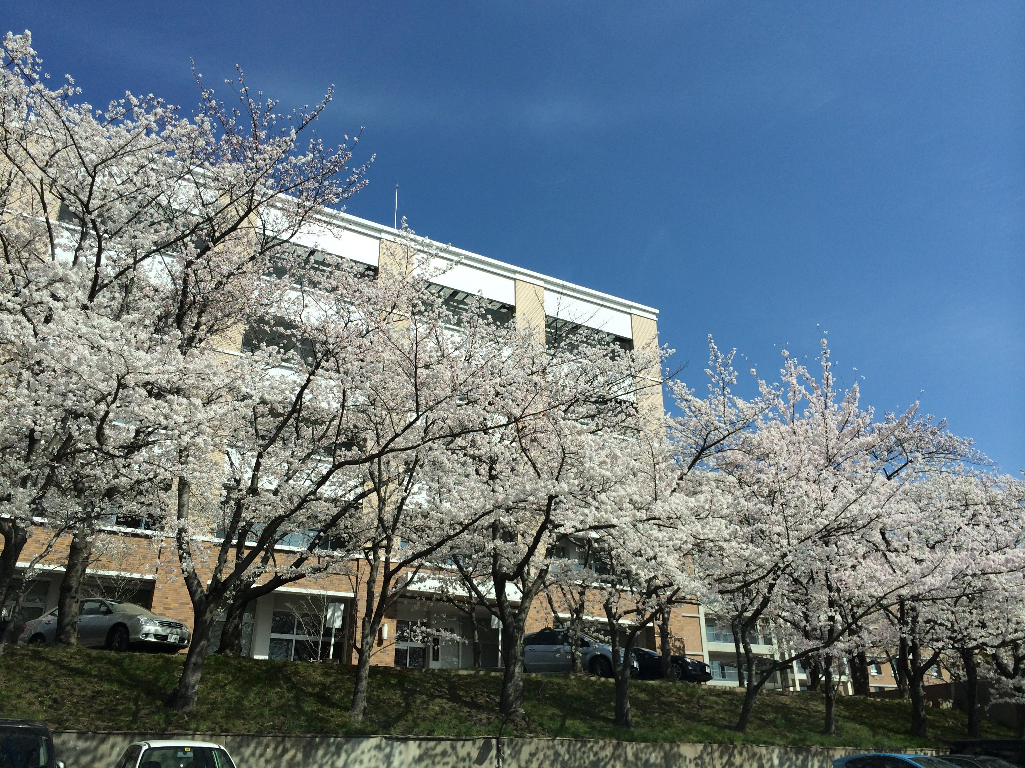 お花見シーズン真っ盛りですな!!